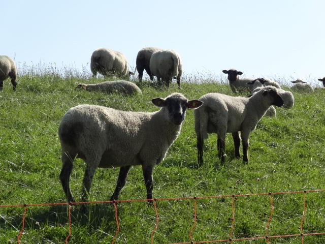 Deich Schafe